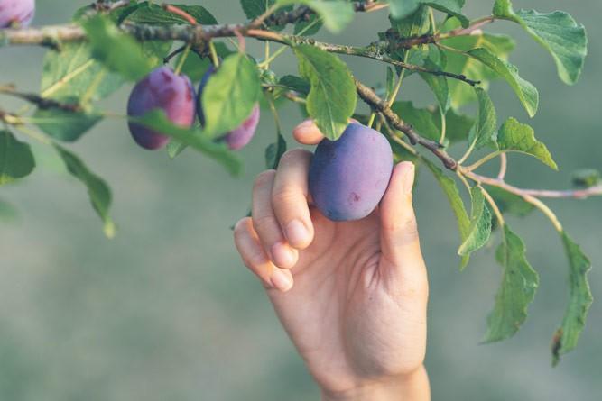 спелая слива на ветке дерева так и просится в руки