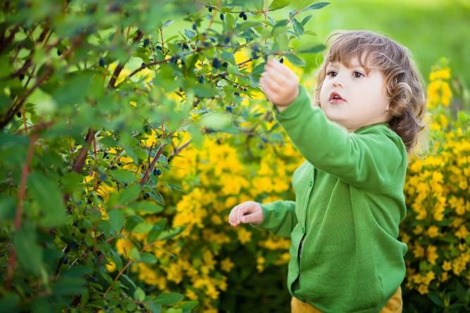 Малыш кушает ягоды жимолости прямо с ветки
