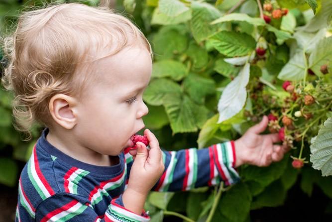 Ребёнок пробует малинку в саду
