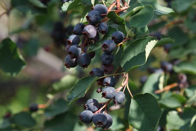 Спелые плоды ирги на дереве
